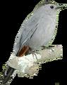 Grey Catbird.png