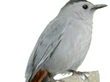 White-browed Gnatcatcher
