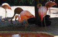 Sunken Gardens Chilean flamingoes