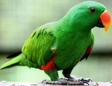 Eclectus roratus -Kuala Lumpur Bird Park, Malaysia -male-8a