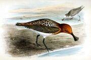 Eurynorhynchus pygmeusIbis1869P012AA