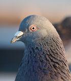 Pigeon portrait 4861