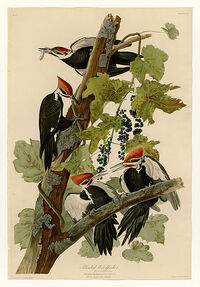 111 Pileated Woodpecker