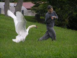 The swan attacks man.Hokkaido-toyako,人を襲う洞爺湖の白鳥P6200258モザイク