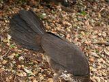 List of birds of Australia