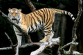 Siberian Tiger sf
