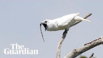 White Bellbird listen to the world's loudest bird call