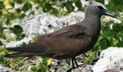 Lord Howe Island - Noddy 2
