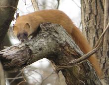 Japanese Weasel
