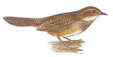 Atrichornis-clamosus