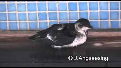 Magellanic Diving-Petrel