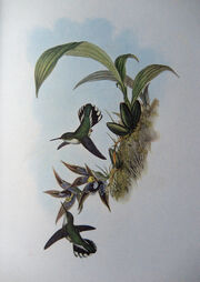 Phlogophilus hemileucurus + Paphinia cristata - Gould - Humm. 161