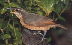 Victoria's riflebird female
