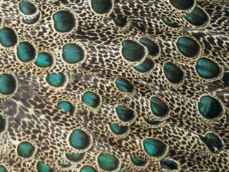Malayan Peacock-Pheasant ocelli