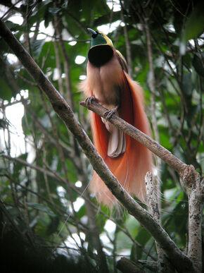 Raggiana Bird-of-Paradise wild 5