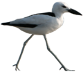 Crab Plover.png