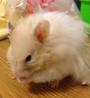 Hershelz Syrian Hamster