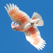 A pink and white coloured cockatoo with a raised crest flying against a background of blue sky