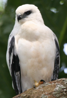 White Hawk 1 2496239182 cropped