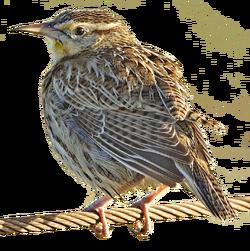Meadowlark - natures pics