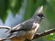 Speckled Mousebird RWD