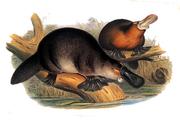 Gould John Duckbilled Platypus 1845-1863