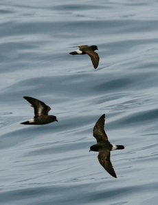 European Storm-Petrel From The Crossley ID Guide Eastern Birds