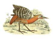 Canirallus kioloides 1868