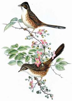 Rhopophilus pekensis Gould