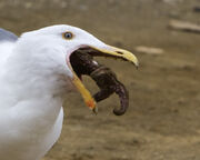 Western Gull eating starfish