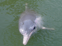 Indo-Pacific Dolphin