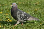 Strutting pigeon.gk
