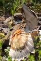 Charadrius vociferus tx1 cropped