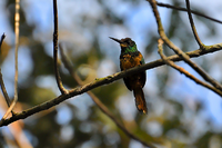 White-chinned Jacamar