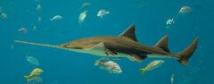 Pristis pectinata - Georgia Aquarium Jan 2006