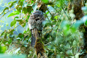 Camouflaged Andean Potoo