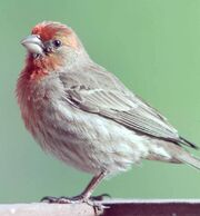 House-finch-male
