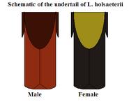 Schematic-utail-Loxia holsaeterii
