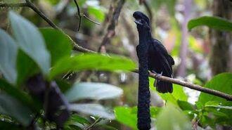 Parajo toro- Long-wattled umbrellabird (Cephalopterus penduliger)