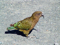 Kea (Nestor notabilis) -on ground-8