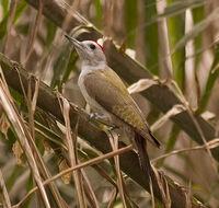 Grey Woodpecker (Mesopicos goertae)
