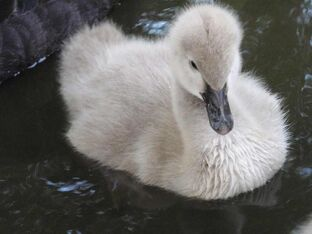 Black swan young 9