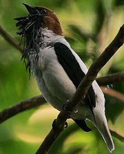Flickr - Rainbirder - Bearded Bellbird (Procnias averano) male calling