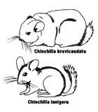 Chinchillas- croquis comparatif