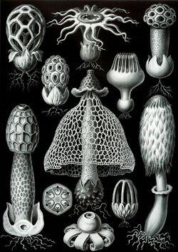 Haeckel Basimycetes