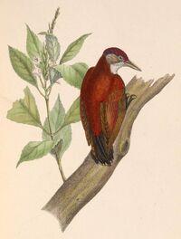 Veniliornis callonotus 1849