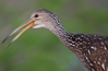 Limpkin 0795 small