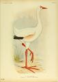 Extinctbirds1907 P31 Leguatia gigantea0353.png