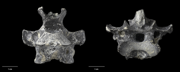 Aptornis proasciarostratus