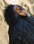 Large black bird with featherless head and hooked bill